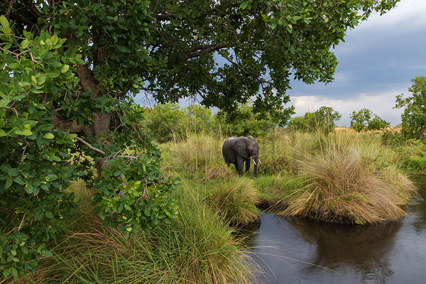 Female Elephant Feeding on the Edge of a Lagoon