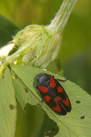 Cercopis vulnerata - Red-and-black Froghopper