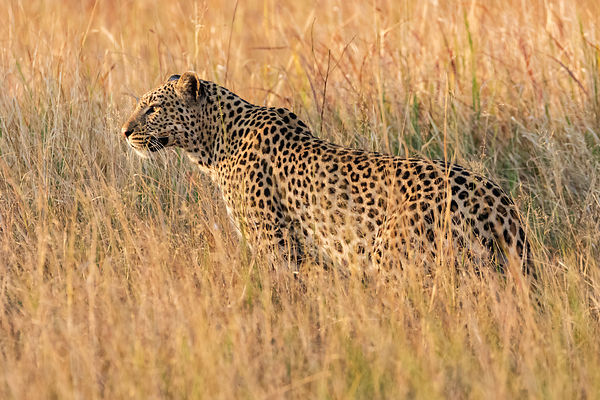 Portrait of a Female Leopard in Long Grass