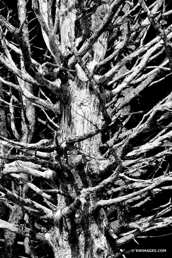 TREE SKELETON RIALTO BEACH OLYMPIC NATIONAL PARK BLACK AND WHITE
