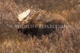 bull_moose_willow_stand_profle