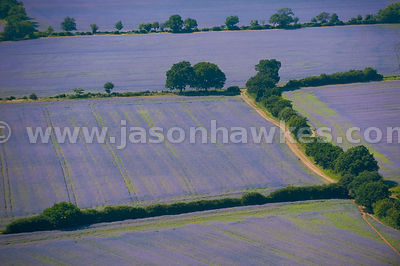 Aerial view over purple fields of lavender