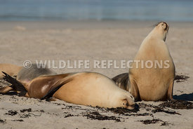 sea_lion_australian_look_up_relaxed-1