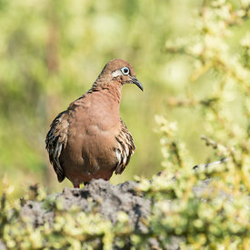 Galapagos Dove wildlife photos