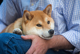 Red and White Shiba Inu Dog Resting on Mans Arm