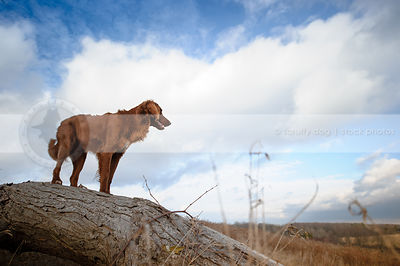 longhaired red setter dog standing on log looking away with sky