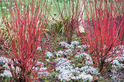 Scarlet stems of cornus underplanted with Iris 'Katharine Hodgkin' in the Winter Garden at Dunham Massey, Altrincham, Cheshire, UK
