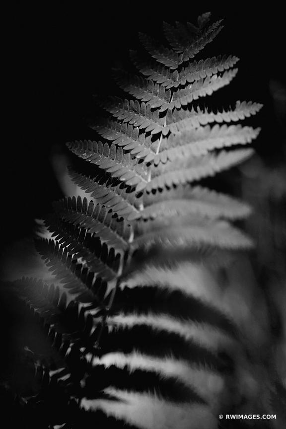 FERN LEAF ADIRONDACK MOUNTAINS BLACK AND WHITE