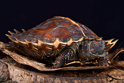 Spiny turtle (Heosemys spinosa) photos