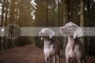 curious weimaraner standing with friend in pine forest