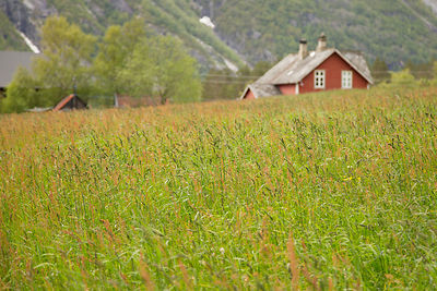 Field of Uncut Grasses with a Red House in the Background