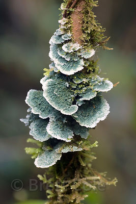 Large blue-gray fungus on a tree trunk, Las Nubes, Costa Rica