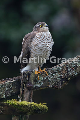Eurasian Sparrowhawk (Accipiter nisus) in an English Lake District garden, Lyth Valley, Cumbria, England