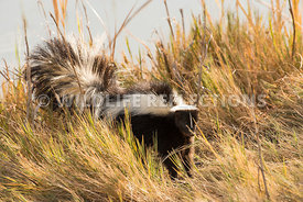 skunk_in_grass-4