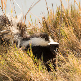 Skunks wildlife photos