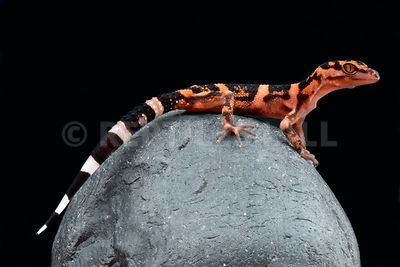 Tokashiki Ground Gecko  (Goniorosaurus orientalis) photos