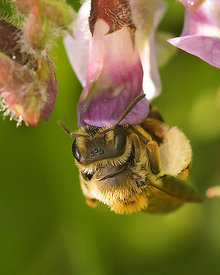 Andrena lathyri, female