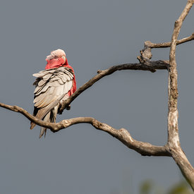 Galah wildlife photos