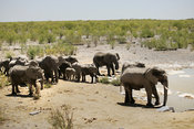 Elephant herd at waterhole