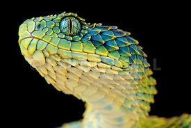 Atheris_squamigera