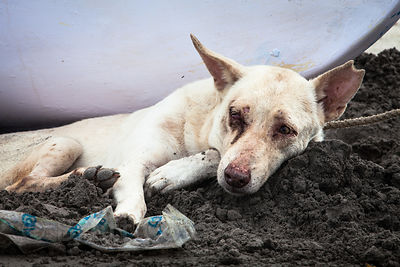 A stray dog on Juhu Beach in Mumbai, India lies in the sand, diseased and sick from eating the garbage the covers the beach and fighting with other dogs in the area.