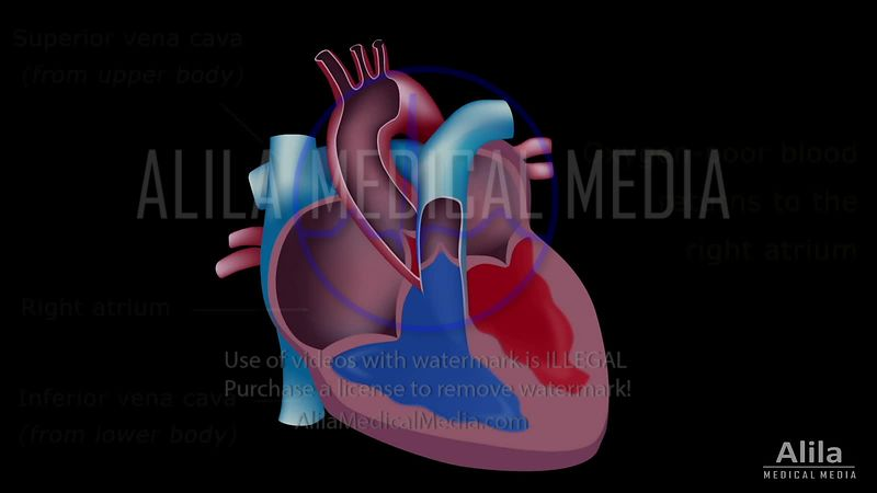 Heart blood flow NARRATED video tutorial.