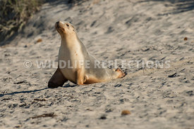 sea_lion_australian_beach_walk-2