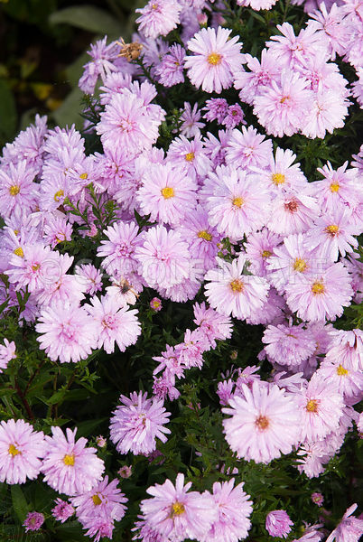 Aster novi-belgii 'Chatterbox'. Waterperry Gardens, Wheatley, Oxfordshire, UK