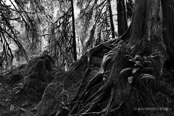 DARK FOREST MARYMERE FALLS TRAIL OLYMPIC NATIONAL PARK WASHINGTON BLACK AND WHITE