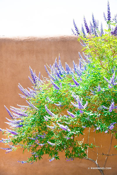 ADOBE WALL AND FLOWERING TREE OLD TOWN ALBUQUERQUE NEW MEXICO COLOR VERTICAL