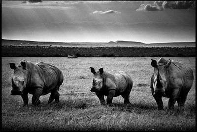 4387-Three_rhinos_under_the_direct_sunlight_Kenya_2013_Laurent_Baheux.