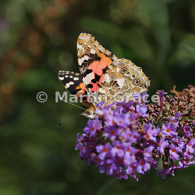 Painted Lady (Vanessa cardui) on Buddleia davidii in Lake District garden, England
