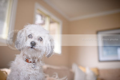 portrait of alert little white groomed dog in livingroom indoors