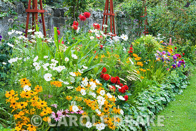 Decorative border punctuated by red wooden obelisks featuring brightly coloured dahlias, Rudbeckia 'Marmalade', Aster 'Ostrich Plume Mixed', Cosmos 'Purity', crocosmias and an edging of Alchemilla mollis. The Shute, nr Ventnor, Isle of Wight, UK