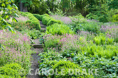 Paths edged with undulating hedges of clipped box lead down into the dell garden, awash with a matrix of planting including ferns, pink Silene dioica, orange euphorbia and Phlomis russeliana.