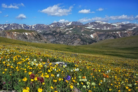 635 Meadow of Alpine Flowers