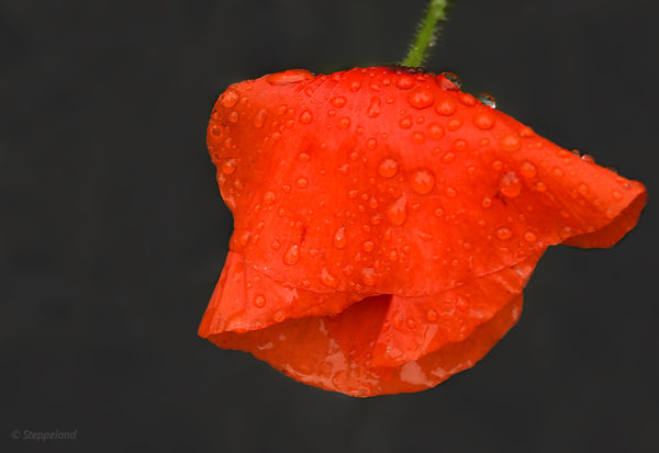 Red poppy raindrops