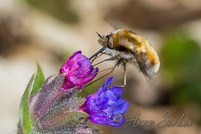 Bee-flies (Bombyliidae) photos