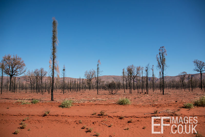 Desert Oaks After A Bush Fire On The Great Central Road