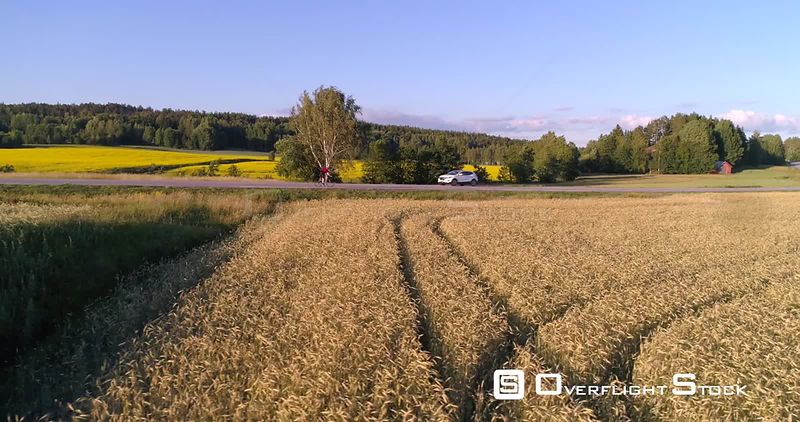Man biking on the countryside, C4K aerial view tracking a biker driving on a road, between wheat fields, on a sunny summer evening sunset, in Uusimaa, Finland