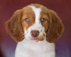 Close-up of brittany spaniel puppy