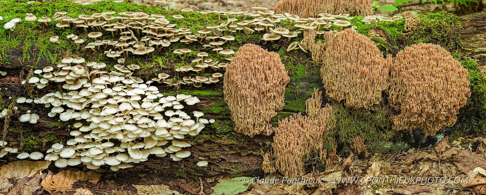 Claude ponthieux photographe champignons sur un tronc d - Champignon sur tronc d arbre ...