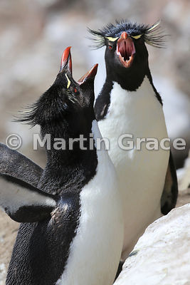 Two Southern Rockhopper Penguins (Eudyptes chrysocome chrysocome) displaying, Saunders Island, Falkland Islands