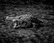 Crocodile sur le sable © Laurent Baheux