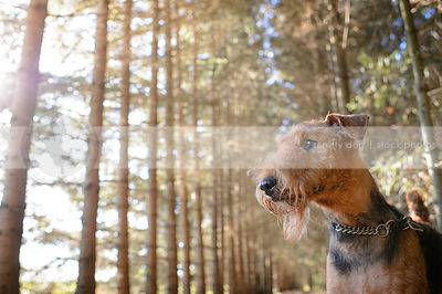 portrait of bearded airedale dog in pine forest