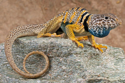 Great Basin collared lizard (Crotaphytus bicinctores) photos