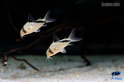 Corydoras_melini_wallpaper
