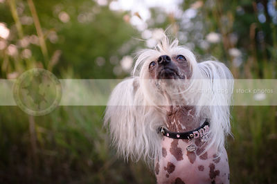 chinese crested freckled dog wearing jeweled collar looking up sitting in grasses