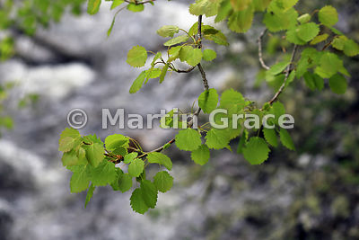 Aspen Leaves (Populus tremula), River Tromie, Badenoch & Strathspey, Scottish Highlands
