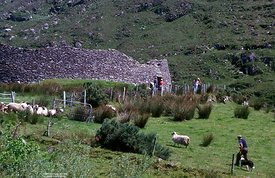Ireland, Man, sheep and flock